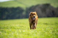 Working Dogs Kelpies On A Farm.
