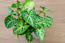 Syngonium Podophyllum, Common Names: Arrowhead Plant, Arrowhead Vine, Arrowhead Philodendron, Goosefoot, African Evergreen, And American Evergreen,  White Butterfly