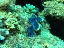 Giant Sea Clam In The Reef