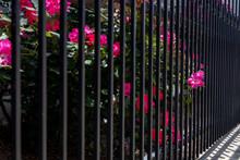 A Single Rose Sticking Through A Gate