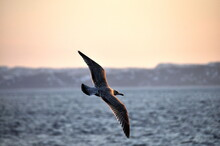 Amazing View Seagull Soaring, Seascape Background In Barents Sea