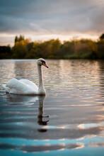 Swan On The Lake
