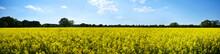 Rapeseed Or Canola Field Panorama
