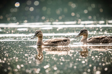 Couple of ducks floating on the water surface.