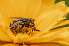 Close-up Of A Flesh Fly On A Yellow Flower, Sarcophagidae