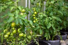 Noch Grüne Tomaten Im Gewächshaus Zwei Wochen Vor Der Ernte