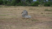 Playful Zebras Flirt With Each Other In The Green Fields Of The Savannah