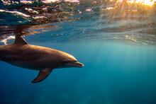 Bottlenose Dolphin (Tursiops Truncatus) Family In The Red Sea