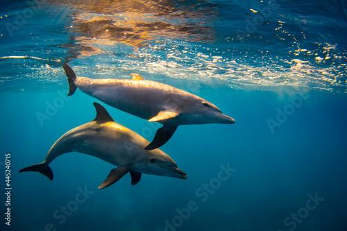 Foto Bottlenose dolphin (Tursiops truncatus) family in the red sea
