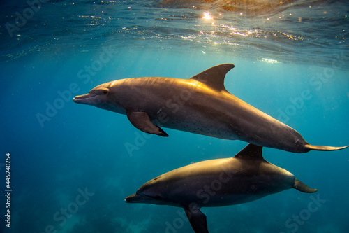 Photo Bottlenose dolphin (Tursiops truncatus) family in the red sea