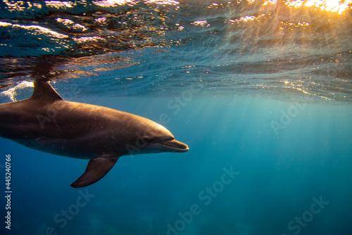 Fotografie, Obraz Bottlenose dolphin (Tursiops truncatus) family in the red sea