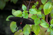 A Large Tropical Poison Butterfly Of Black Color With Red Markings In A Green Forest Setting. Atrophaneura Semperi.