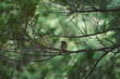 Ptak pleszka ,pleszka ,pleszka samiec ,ptak na gałęzi ,młody ptak