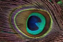 Peacock Feather, Peacock