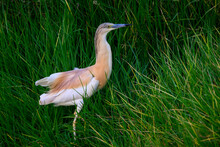 Squacco Heron Fishing On The Pond With Green Grass, Closeup Portrait