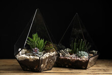 Different Florariums With Beautiful Succulents On Wooden Table Against Black Background