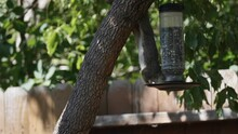 Squirrel On A Tree Hanging Upside Down And Eating From A Feeder
