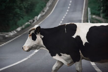 Black And White Cow Crossing The Road