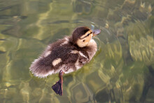 Mallard Duck Chicks In Water Or On Land In Rocks On A Bright Summer Sunny Day At The Lake