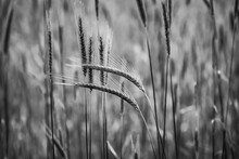 Grayscale Shot Of Bent Wheat Ears At A Field