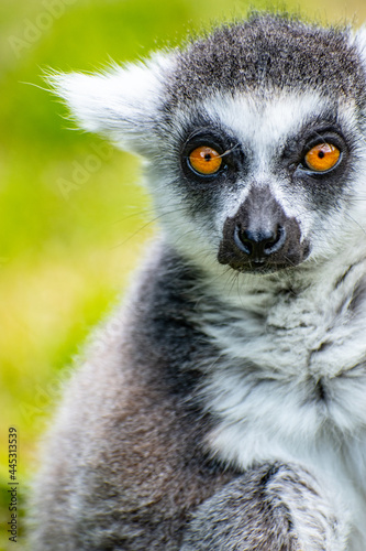 Fototapeta premium Portrait of a funny ring-tailed lemur (Lemur catta)looking at the camera on blurred green background