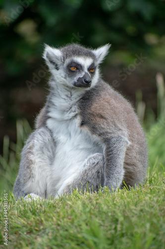 Fototapeta premium Funny furry lemur sitting on the grass