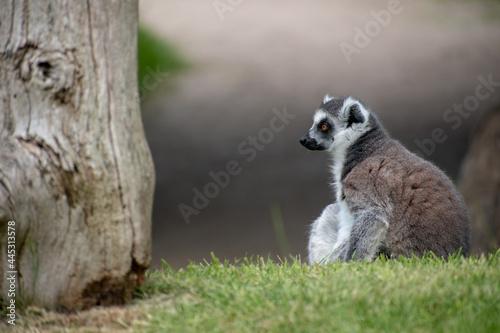 Fototapeta premium Shallow focus of a lemur in the zoo
