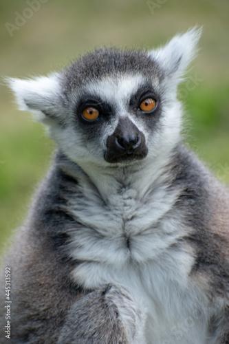 Fototapeta premium Vertical portrait of a lemur