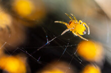 Close-up Of A Small Yellow Spider In Nature.