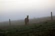 Polana z wypasającym się koniem spowita poranną mgłą i poranną rosą