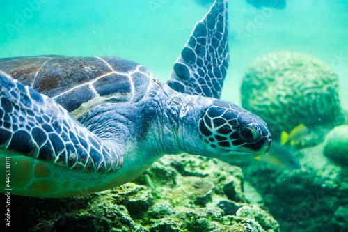 かわいい海亀 Fototapeta