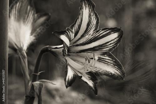 Close up di fiore Amarillis