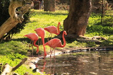 Pink Flamingos By The Lake Side