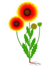 Gaillardia Flower With Fruit And Roots On A White Background.