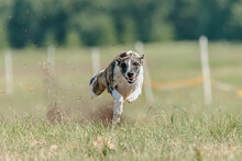 Whippet Sprinter Running On Field Chasing A Lure