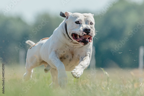 Staffordshire Bull Terrier running full speed at lure coursing sport Fototapet
