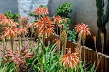The Plant (Aloe Arborescens) With Red Flowers Close-up