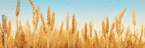 Wheat field against blues sky at late summer harvest time, golden yellow wheat s Fototapet
