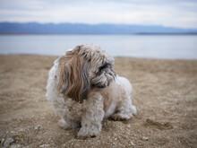 Cute Little Shihtzu Dog Sitting On The Sand Of The Bea