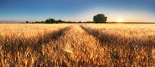 Wheat Field Panorama With Path At Summer Sunset, Agriculture