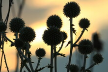 Dark Silhouettes Of Spherical Thorny Wildflowers Against An Orange Cloudy Sunset Sky. Eryngium Planum, Blue Eryngo. Silhouettes Of Blooming Blue Eryngo Against A Dramatic Evening Sky.
