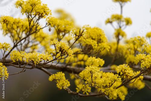 Obraz na plátně Yellow flower of cornus officinalis,  Japanese cornelian cherry