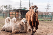 Two Bactrian Camels Are Resting In Their Paddock On The Farm. Camelus Bactrianus, A Large Hoofed Animal Living In The Steppes Of Central Asia.