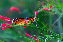 Danaus Chrysippus, Also Known As The Plain Tiger, African Queen, Or African Monarch, Is A Medium-sized Butterfly Widespread In Asia,  Australia And Africa. It Belongs To The Danainae Subfamily