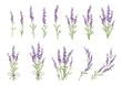 Sprigs of lavender set. Vector colorful illustration
