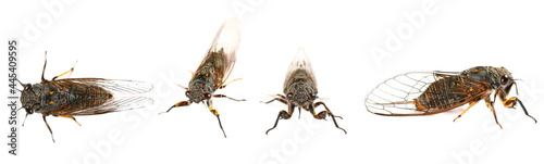 Fotografie, Obraz Set Cicadetta montana or New Forest Cicada isolated on white background