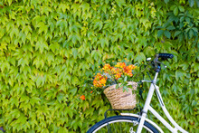 Bicycle With Basket Of Freesia Flowers In Front Of Green Ivy Wall