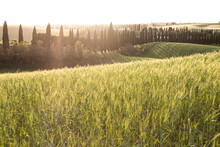 Setting Sun Illuminating Springtime Meadow With Rows Of Cypress Trees In Background