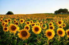 Yellow Sunflowers Blooming At Field During Sunset