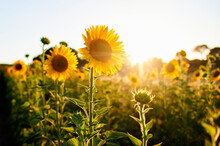 Bright Yellow Sunflowers Blooming At Field During Sunset